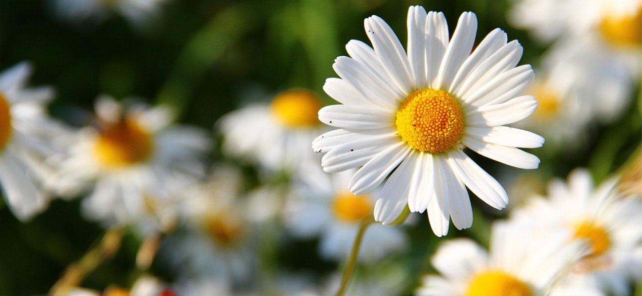 margaritas flores min