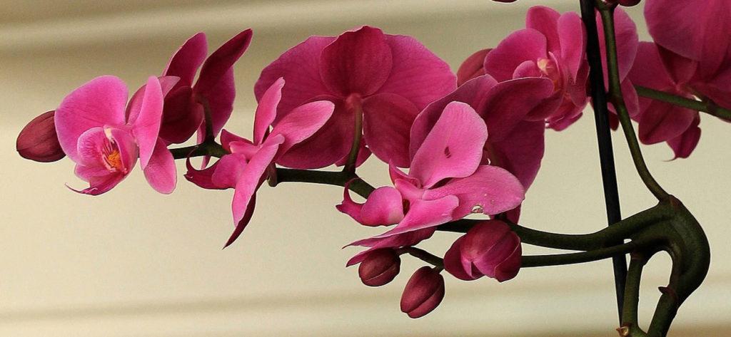 orquidea rosa min