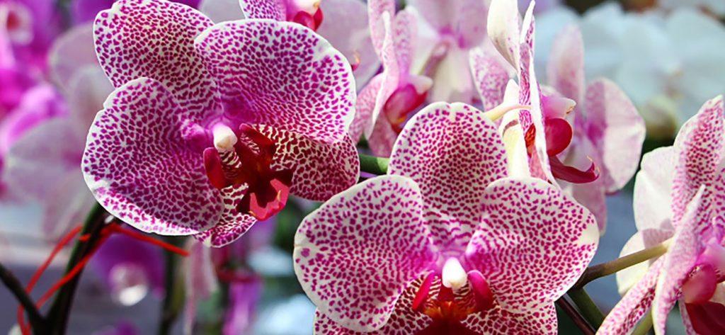Cómo cuidar una orquídea en interiores
