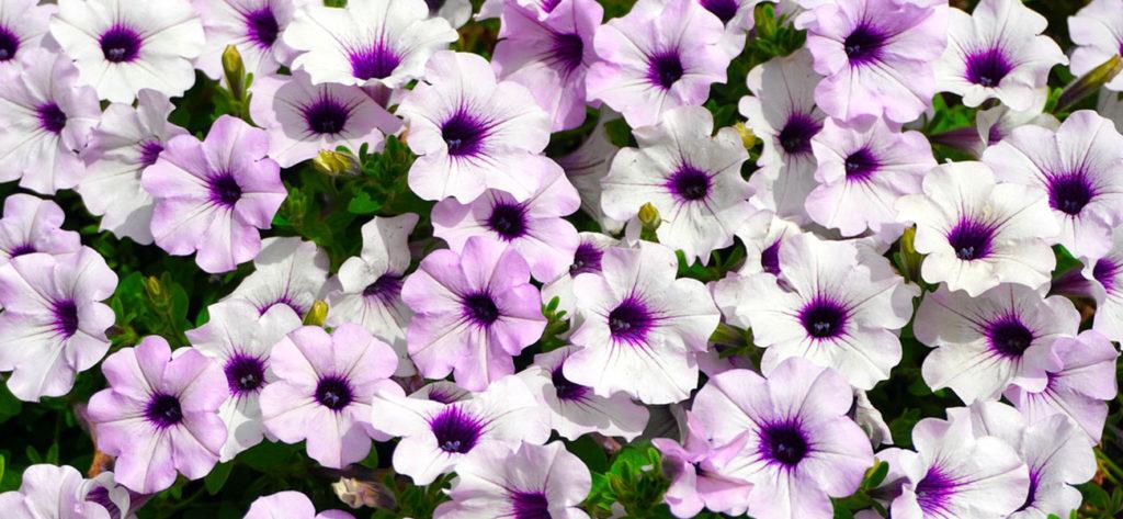 petunia flor min