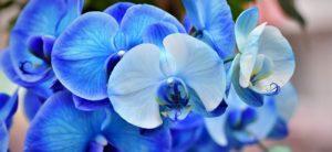 phalaenopsis orquidea azul