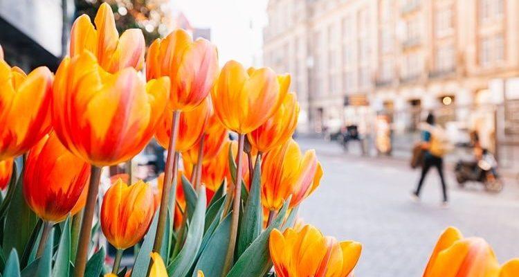 ¿Por qué hay tulipanes en los Países Bajos?