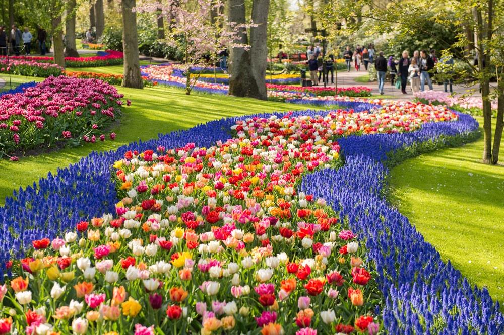 tulipanes campo min