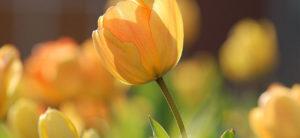 tulipanes min