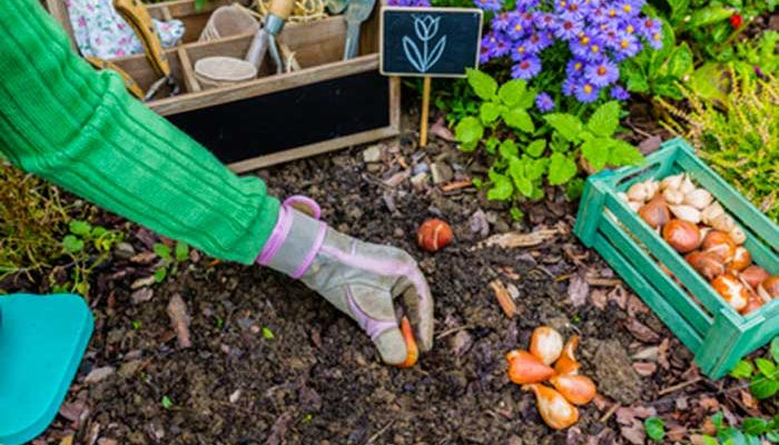 ¿Como plantar tulipanes?
