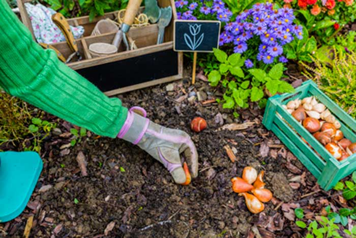 Â¿Como plantar tulipanes?