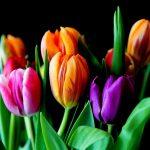 ¿Qué significan los colores de los tulipanes?