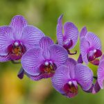 Origen de la orquídea