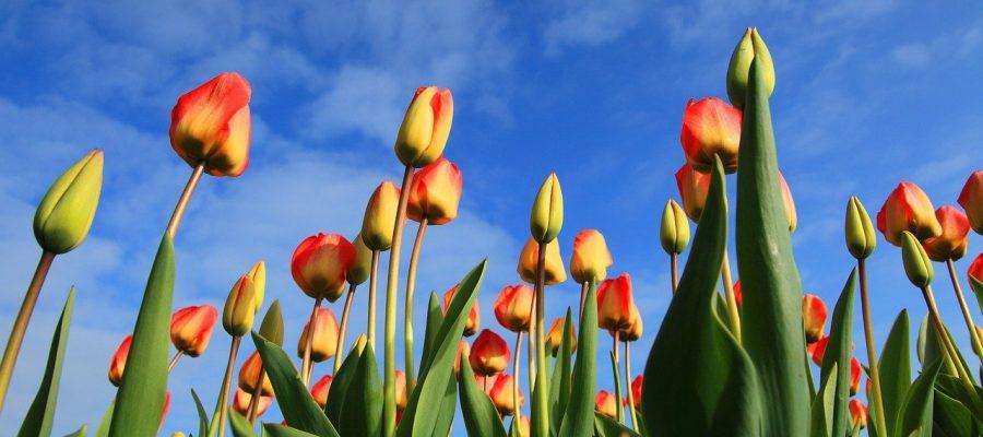 tulips 21598 1280