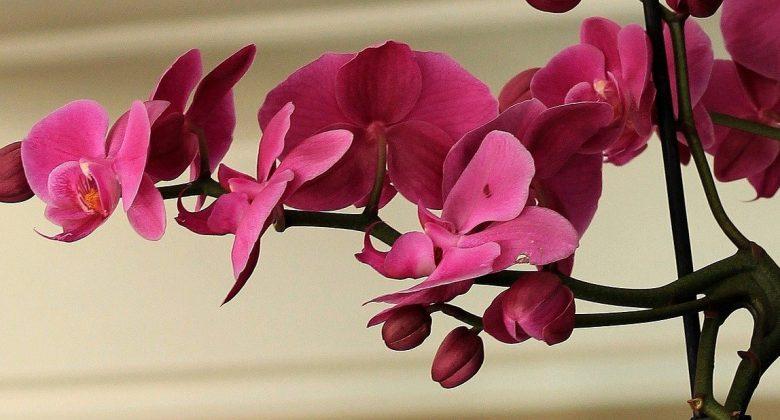 Por qué se caen las Flores de las Orquídeas 1