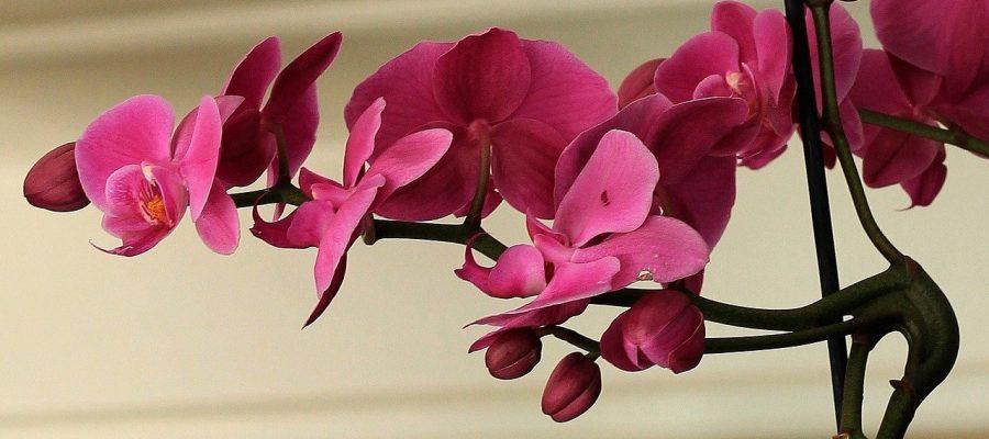 Por qué se caen las flores de las orquídeas