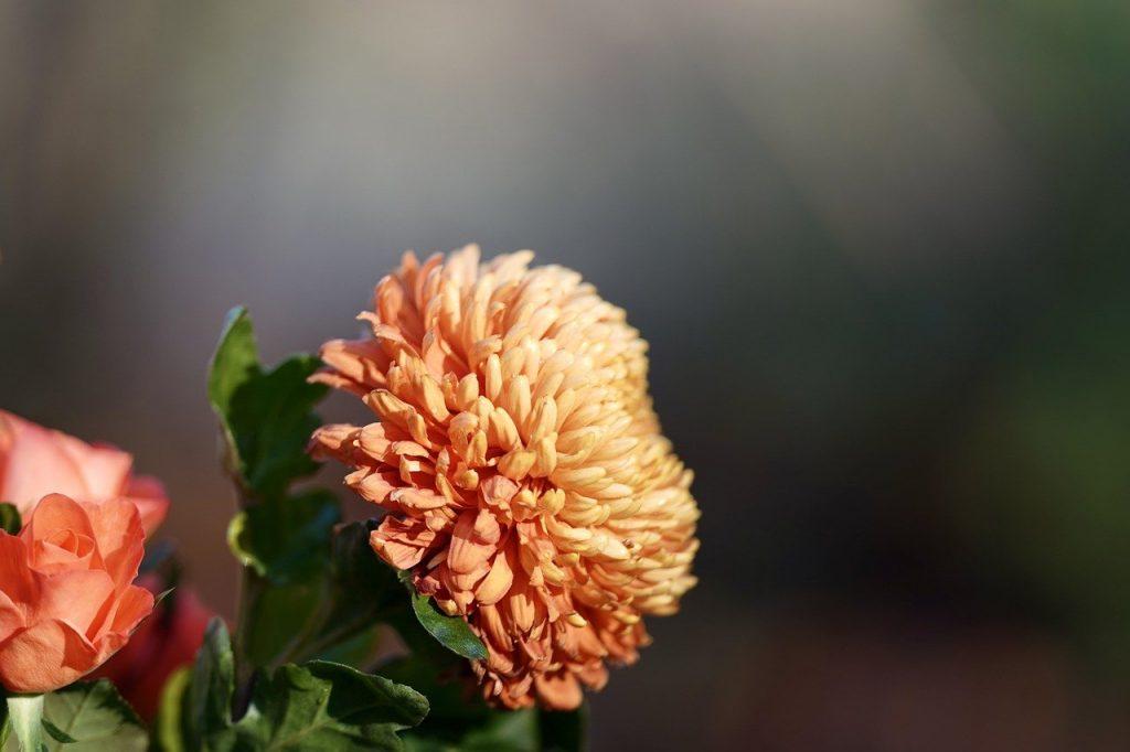 crisantemo bronce