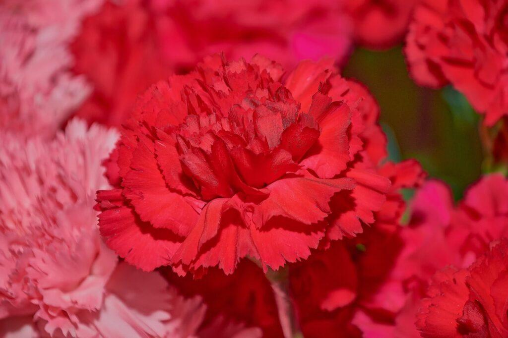 clavel rojo significado