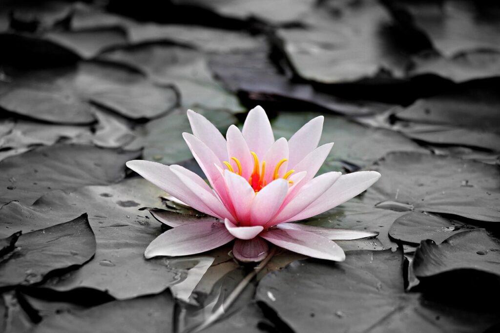 florecer nenúfar