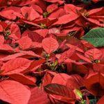 Cómo volver a florecer la flor de nochebuena despues de navidad